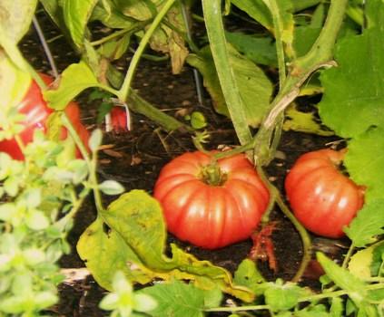 flavorista_gardentomatoes_sam